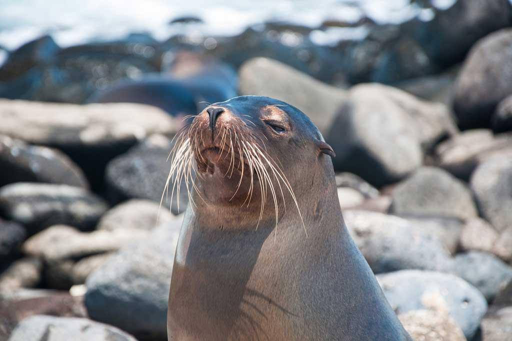 galapagos-seal