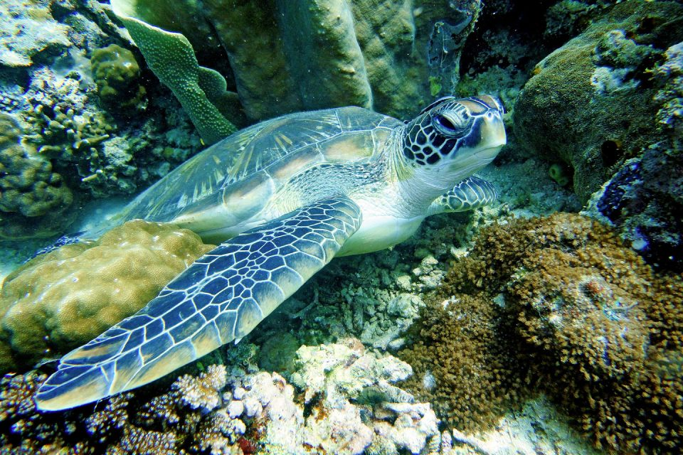 philippines-diving-turtle