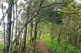 pui-trees