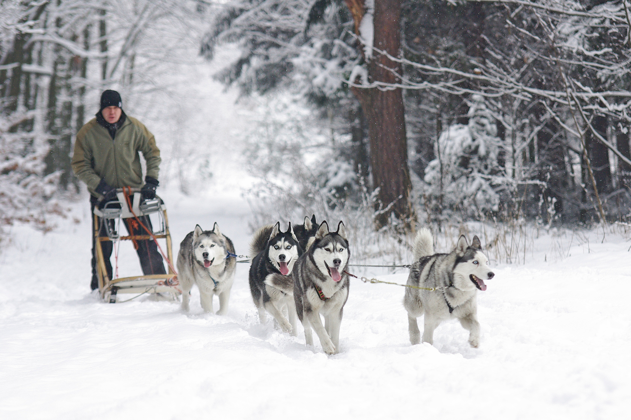 4 husky dogs drag a man on a sled