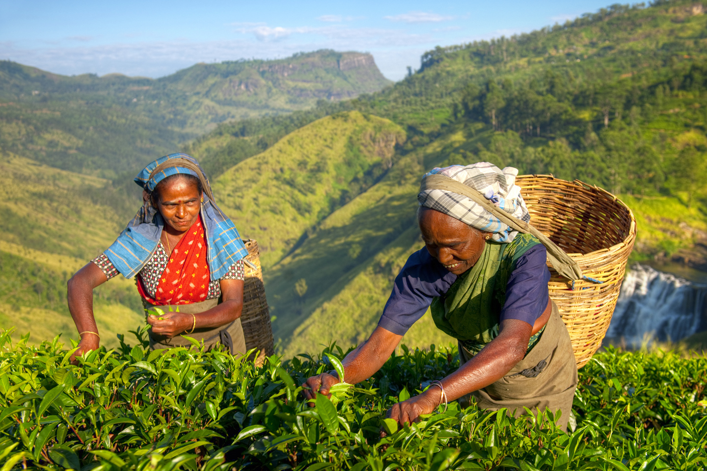 Female Tea Pickers in Plantage, Sri Lanka