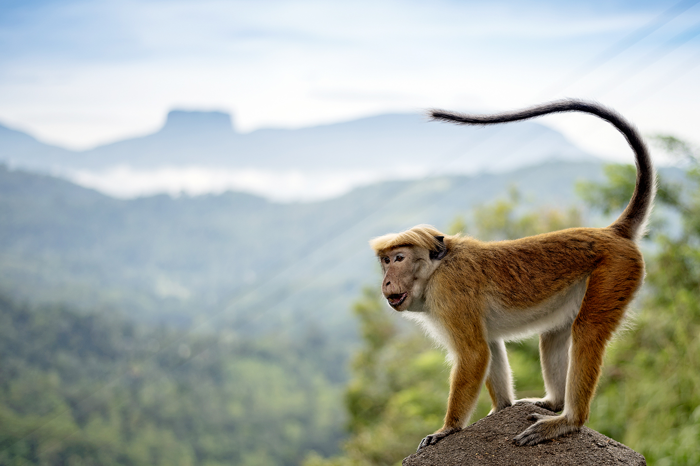 Monkey stood on a rock in Sri Lanka