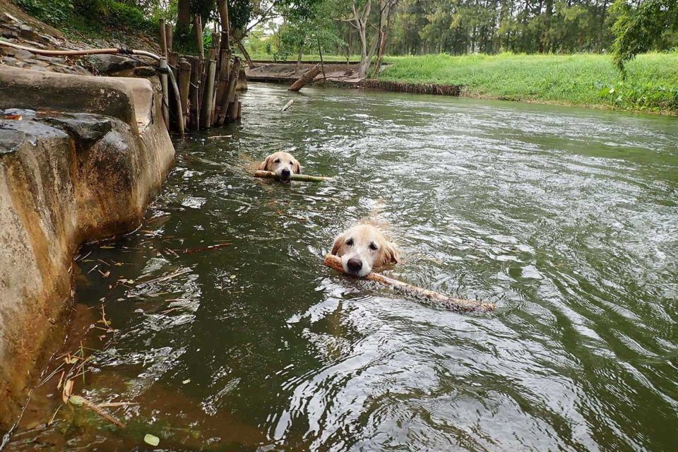 dogs thailand