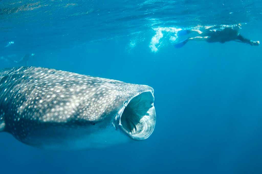 bicol-whale-shark