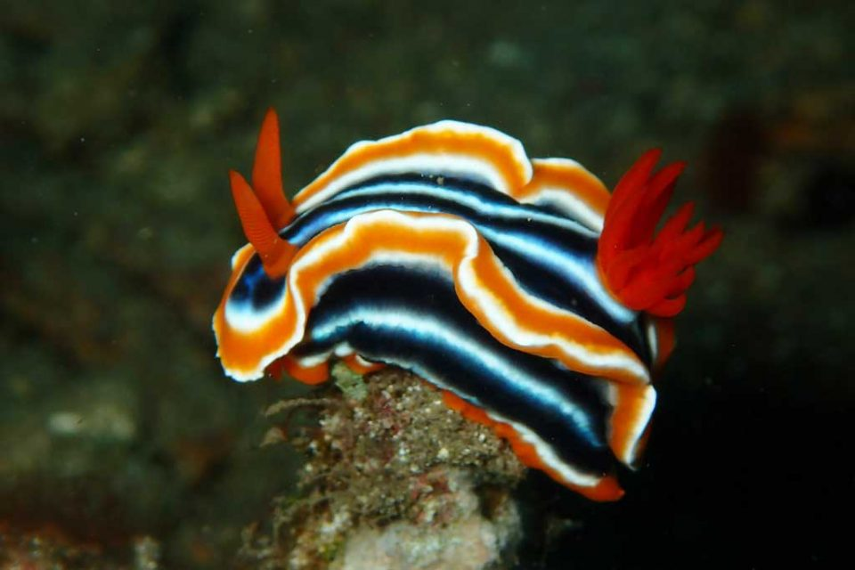 cambodia nudibranch