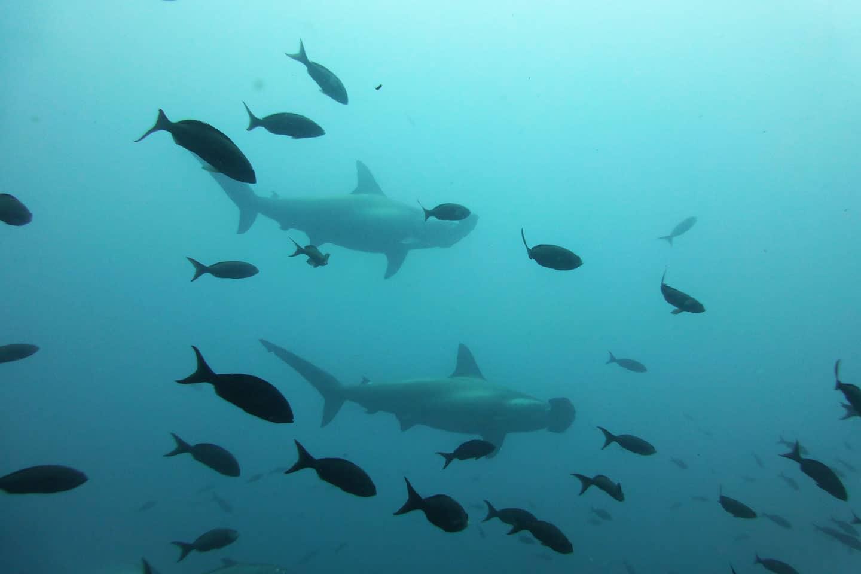 galapagos-hammerhead sharks