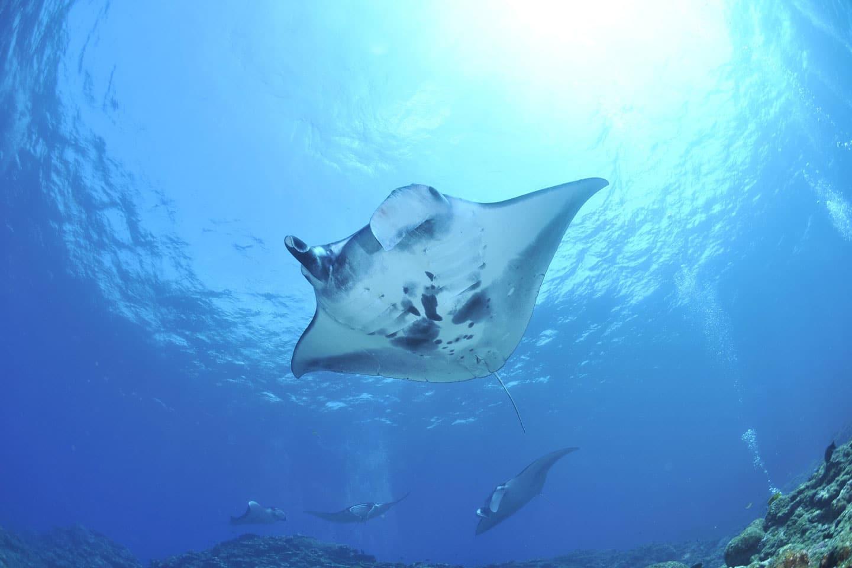 galapagos-manta-rays