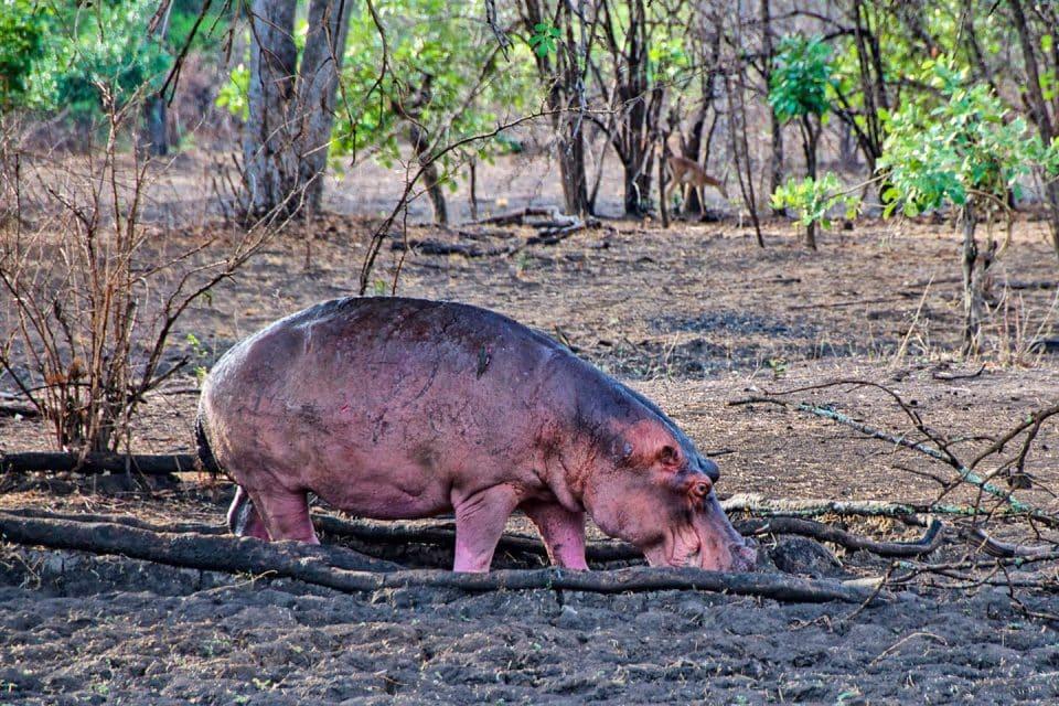 hippo-hitchhike