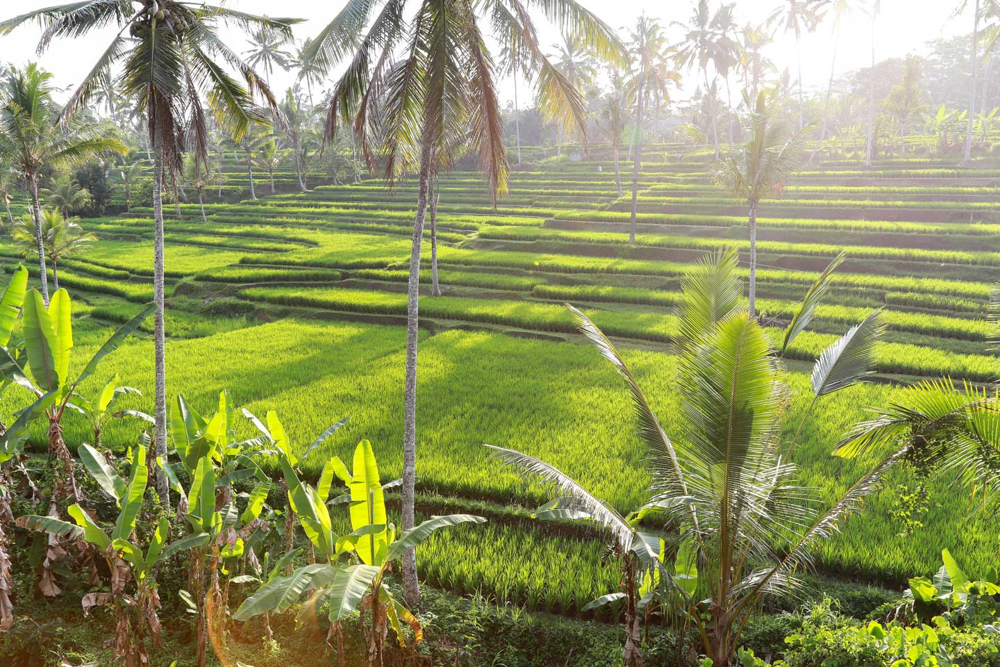 indonesia ricefields bali