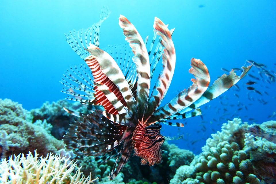 lionfish-palau-diving