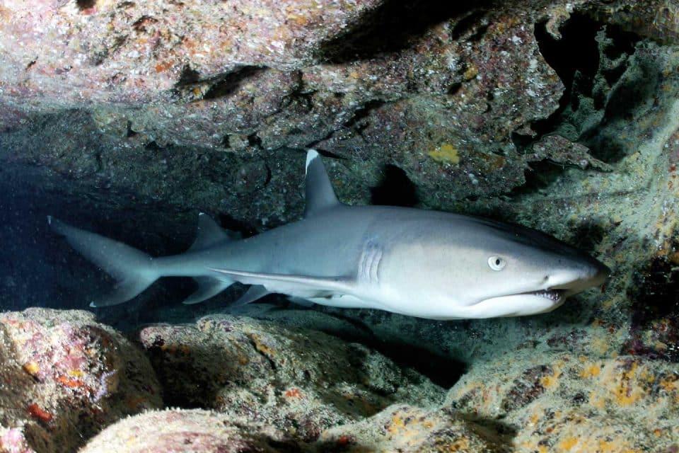 liveaboard-philippines-sharks