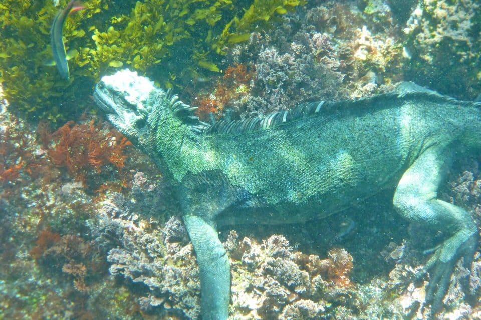 marine-iguana galapagos