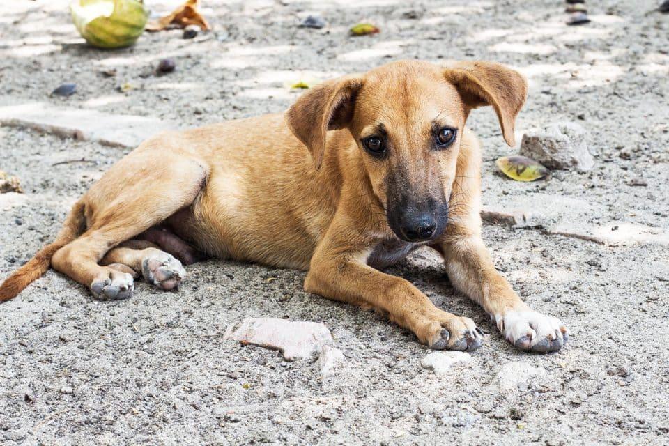 phuket-stray-dogs