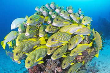 raja-ampat-liveaboard-fish