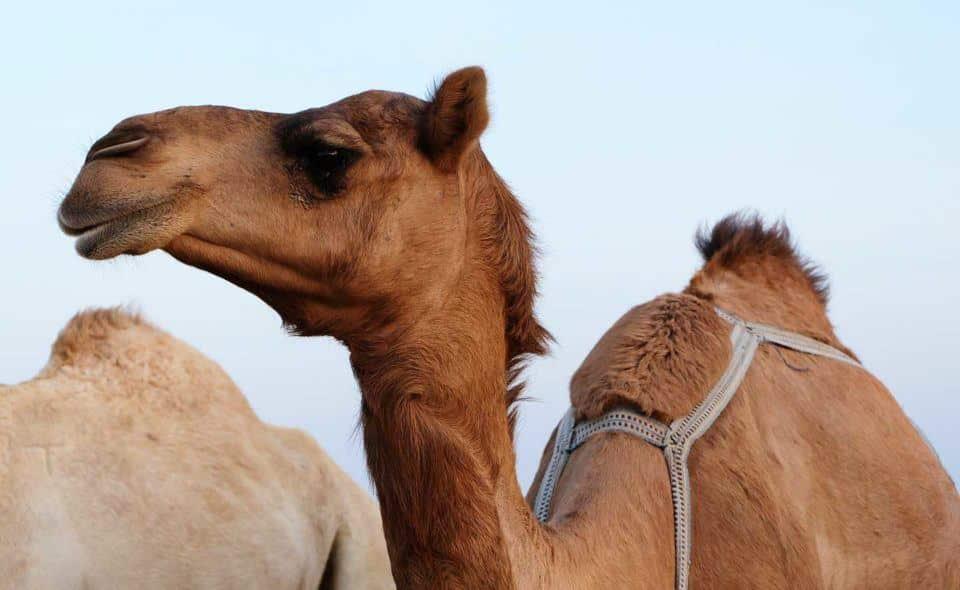 safari-kuwait