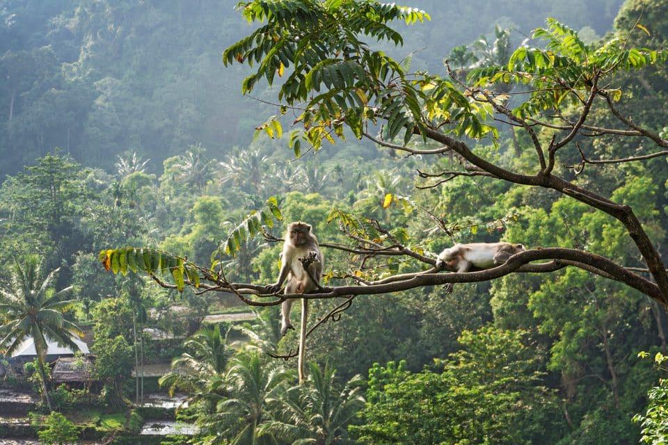 Two monkeys sit on tree at Pusuk Monkey Forest, Lombok, Indonesia