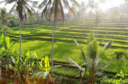 Green rice fields and palm trees