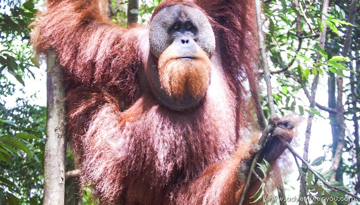 orangutan sumatra bukit lawang
