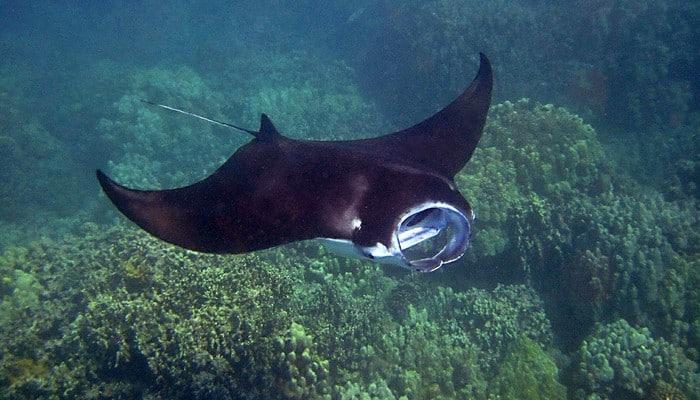 manta ray komodo