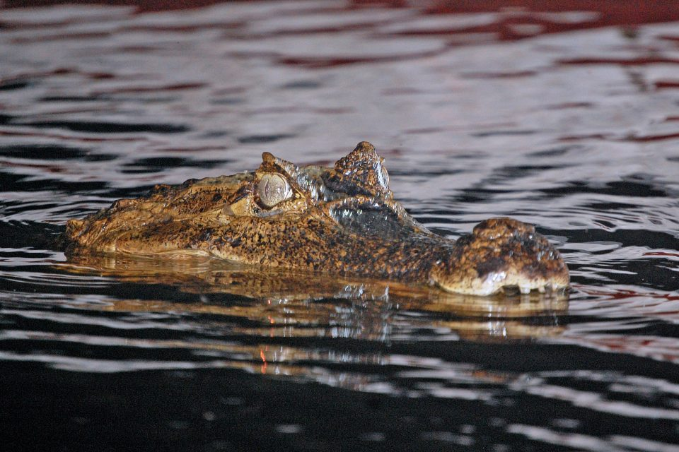 A crocodile's head on the water surface