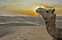 A camel in the desert at sunset