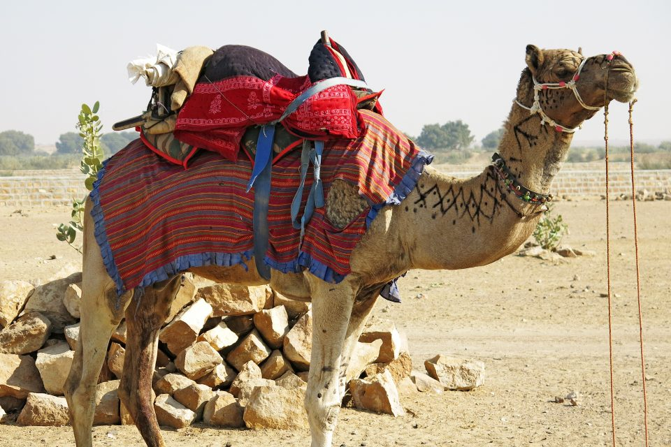 A camel with a saddle
