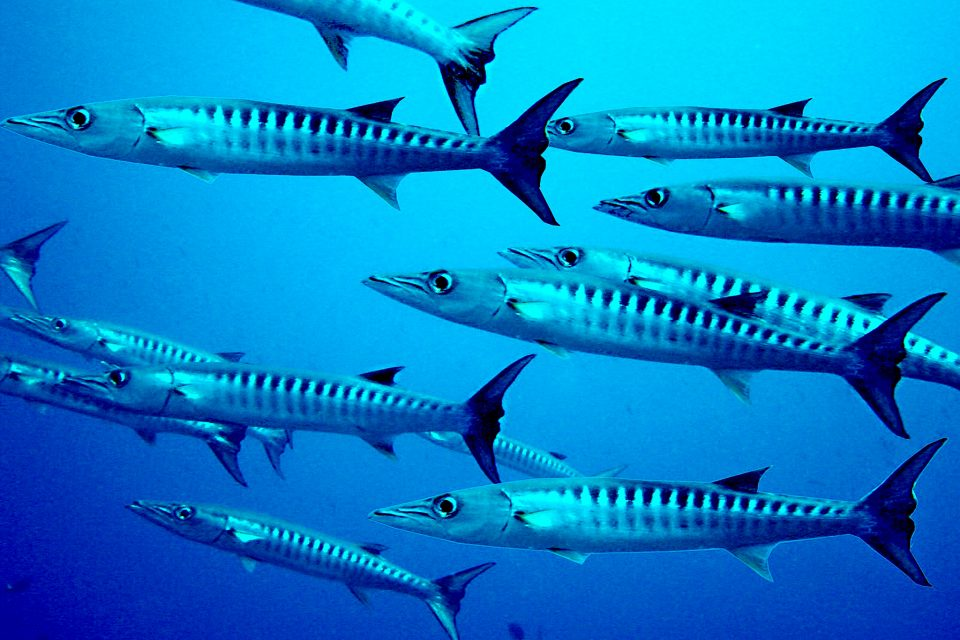 A school of blacktail barracudas at Chumphon Pinnacle Dive Spot, Thailand