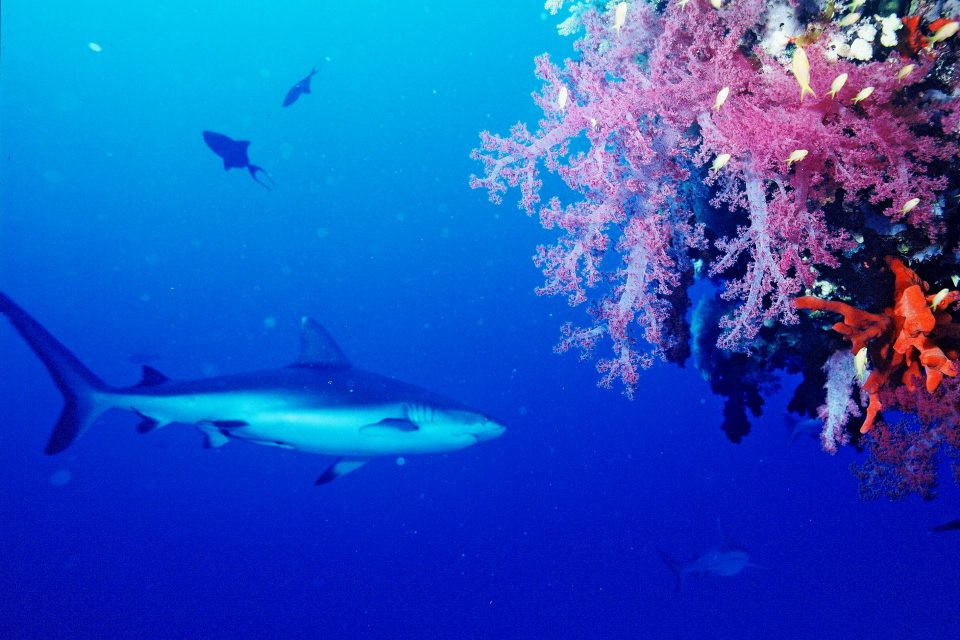 Leopard Shark and Soft Corals at Hin Daeng Dive Spot, Thailand