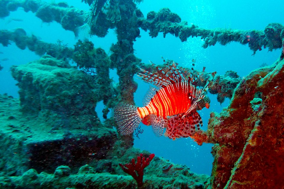 Lion fish and shipwreck at the HTMS Sattakut Wreck Dive Site, Thailand