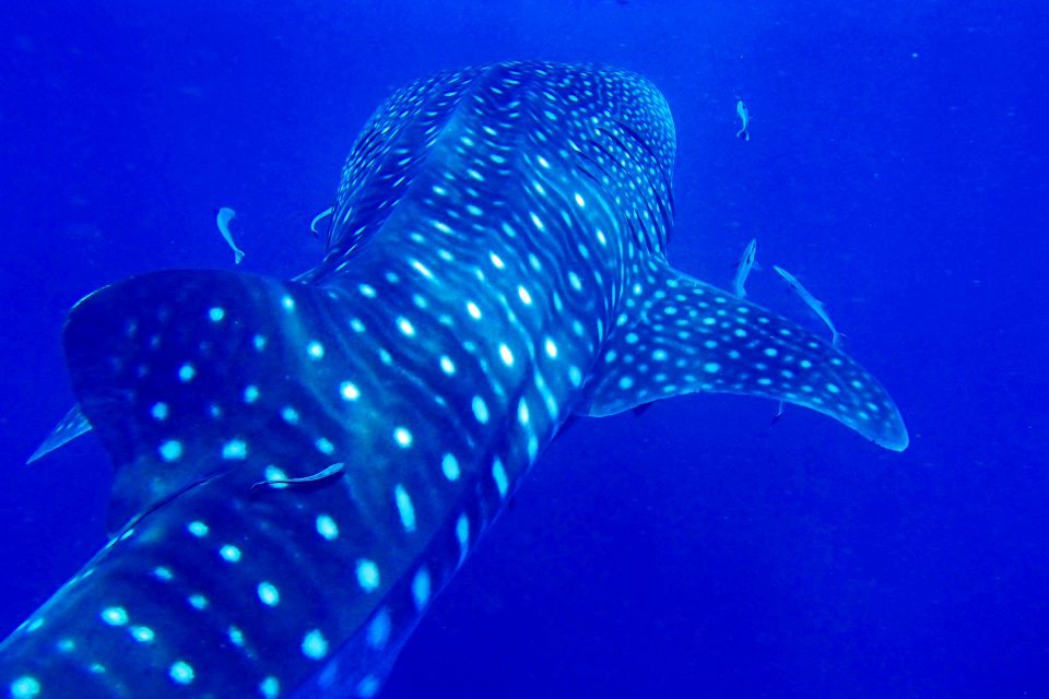 Whale shark, Richelieu Rock Dive Spot, Thailand