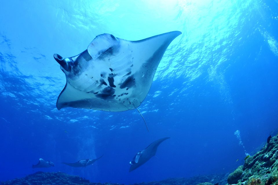 Upwards view of manta rays in blue waters
