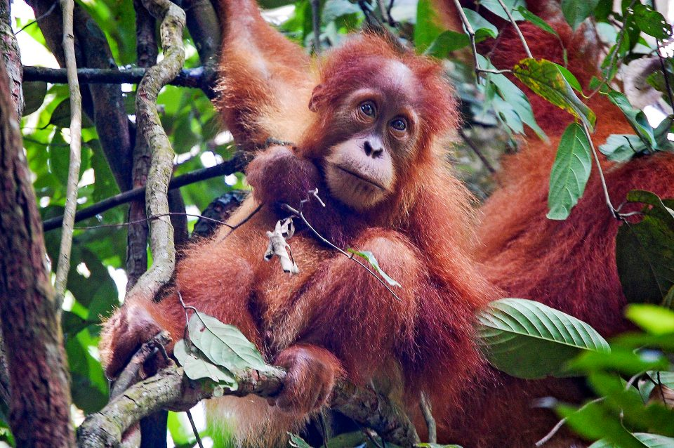 A baby orangutan sitting on a branch