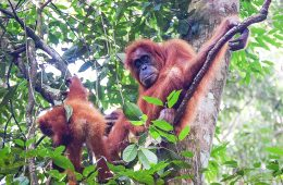 Orangutans sitting in a tree