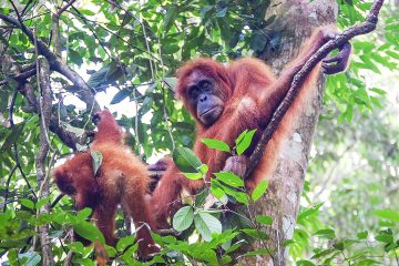 Orangutans sitting in a tree