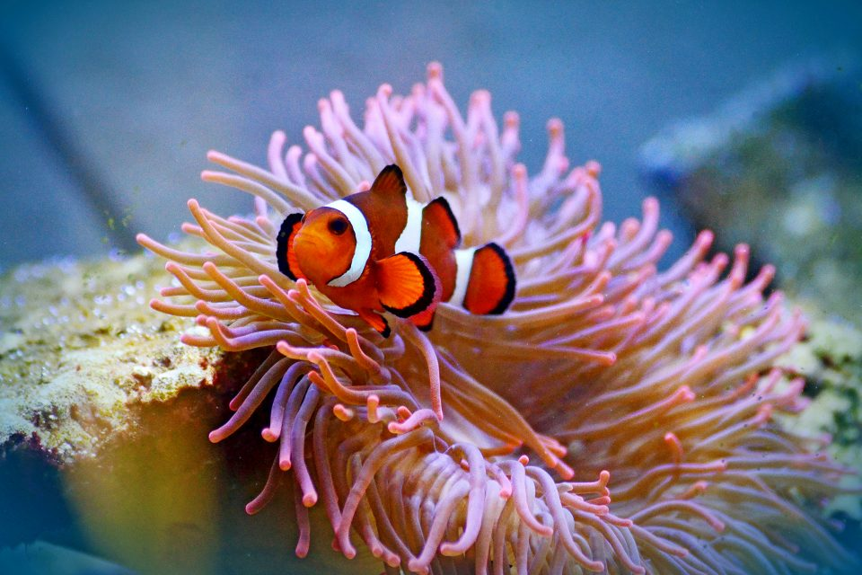 A clown fish in anemones