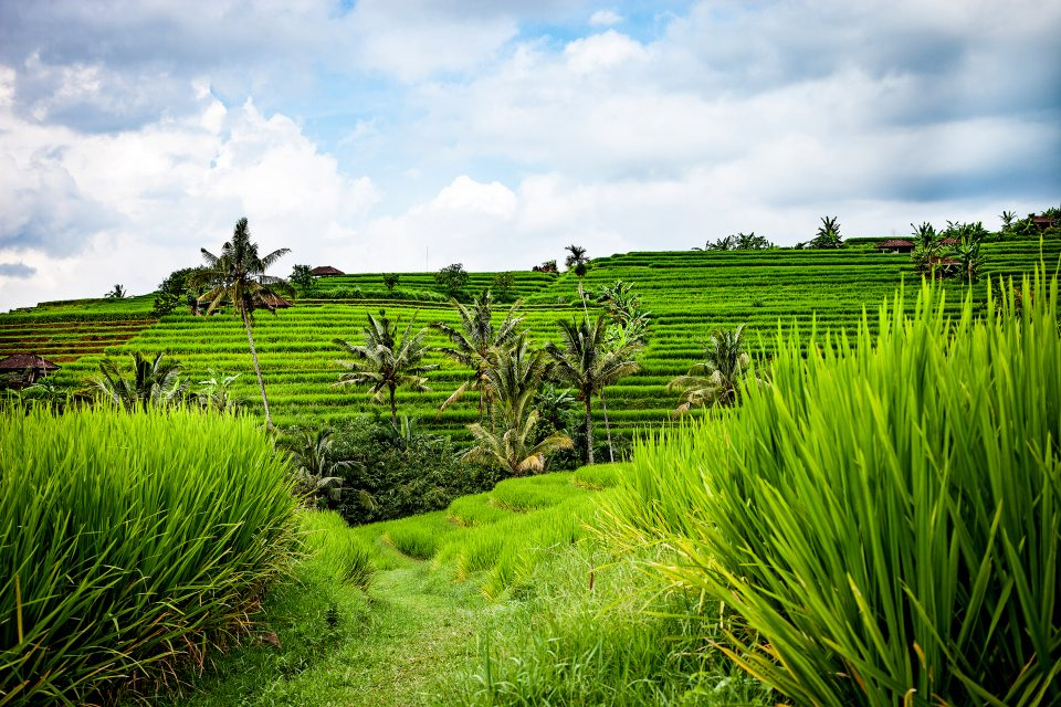 Green rice terraces in Indonesia