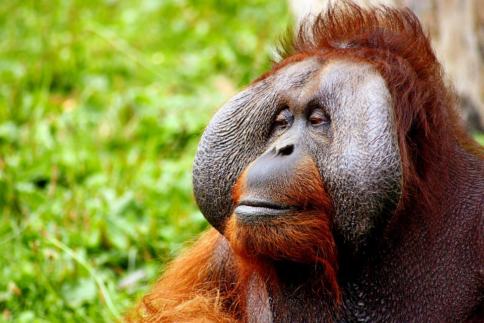 A close up of an orangutan's face