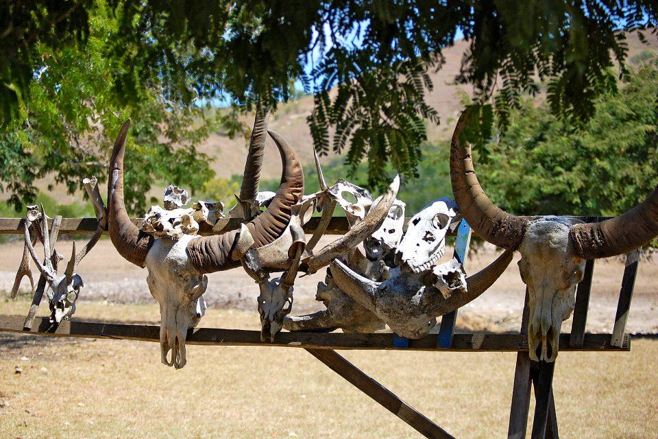 Animal skulls hung on fence