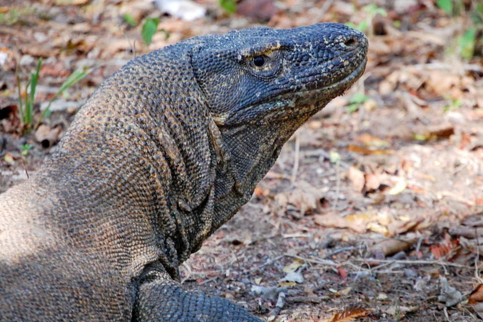 Close up of a komodo dragon's head
