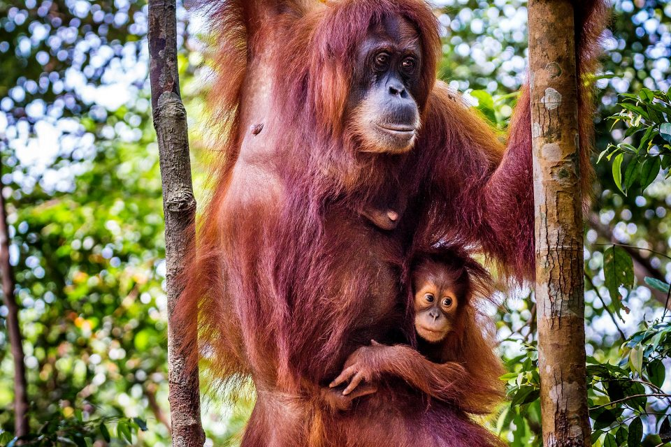 An orangutan and its baby