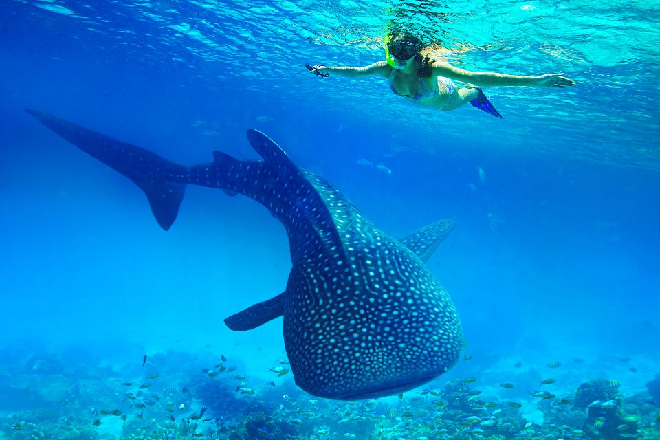 A woman snorkeling above a whale shark