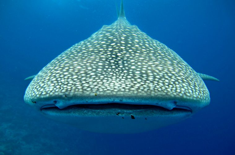 Close up of a whale shark's face