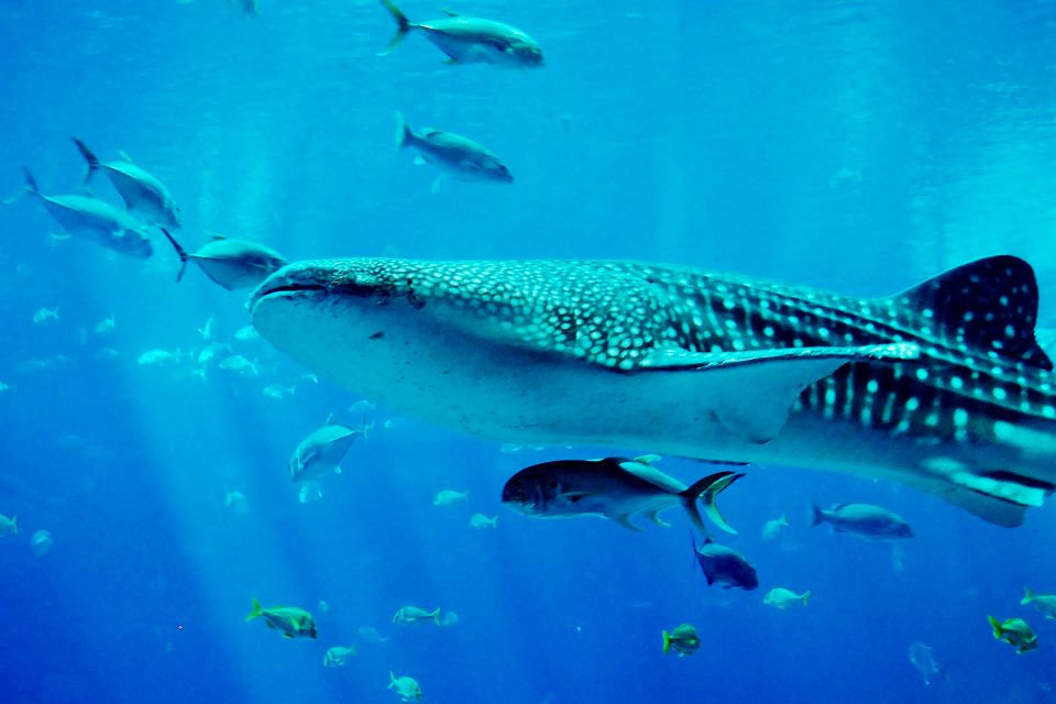 A whale shark swimming with schools of fish