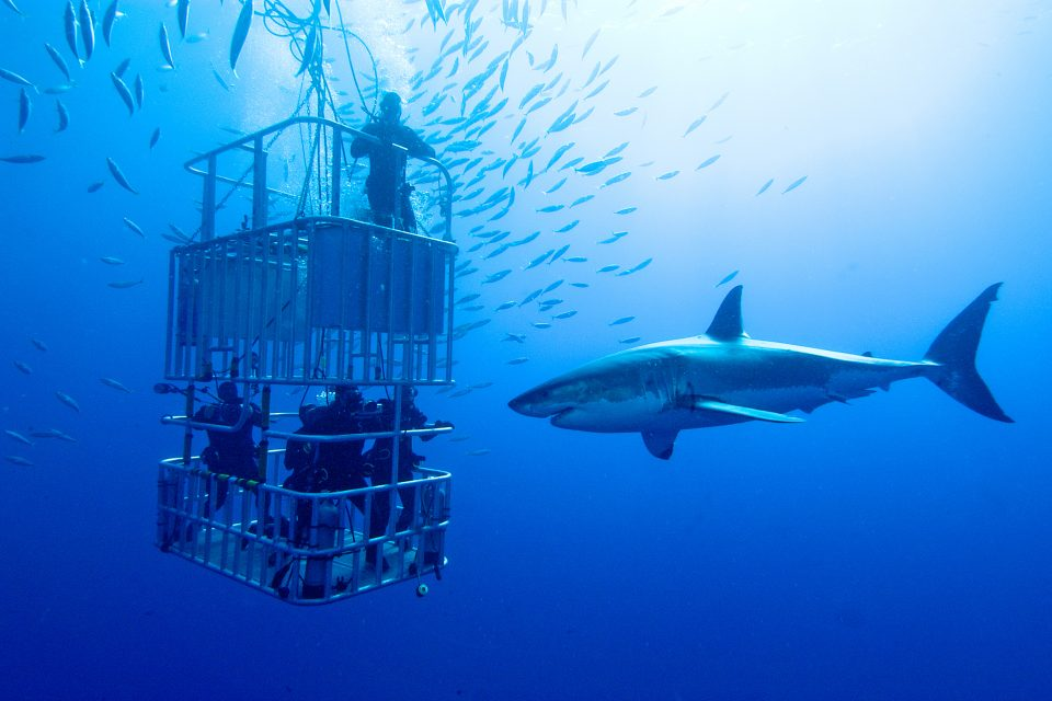 cage diving sharks