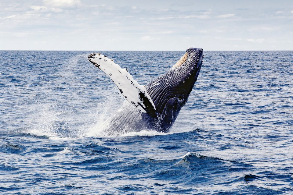 whales humpback