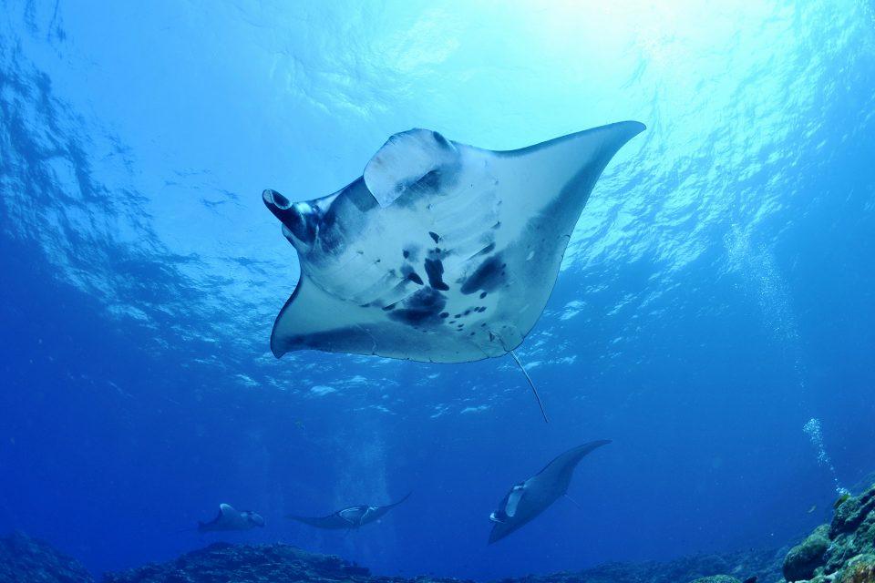 manta rays komodo national park
