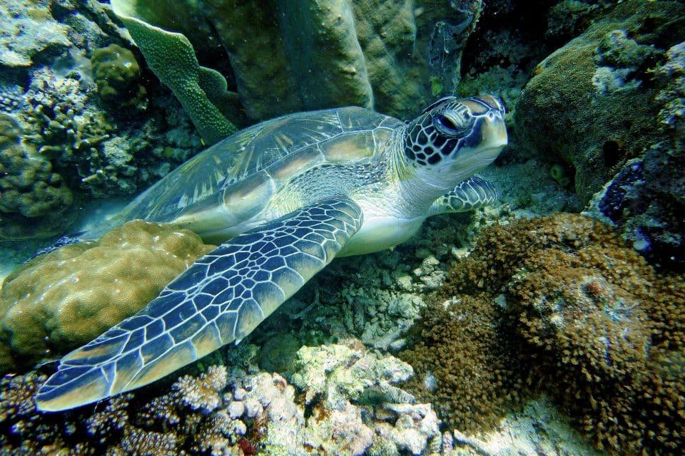 tabbataha reef turtles