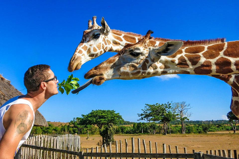 A man feeding giraffes