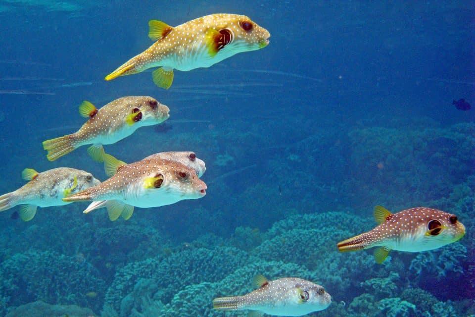 gilis fish