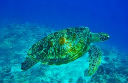 gilis turtle